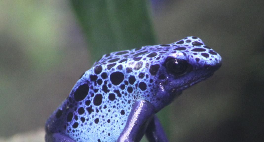 Une grenouille bleue dans la serre amazonienne - Zoo de Montpellier