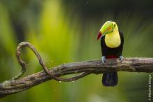 Toucan © Maxime Aliaga